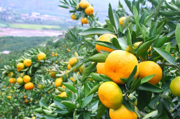 Tangerine_in_Huaning_County