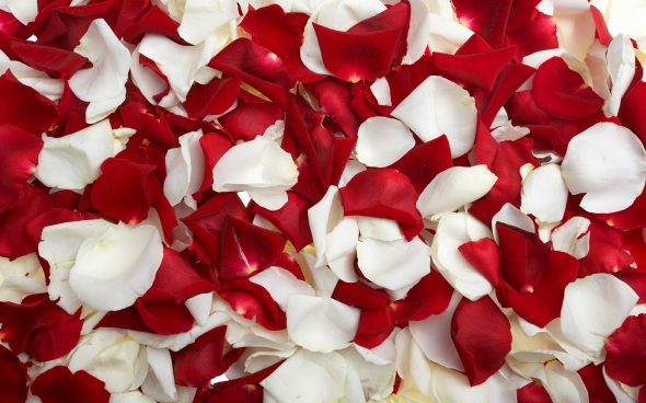 Red-With-White-Rose-Petals
